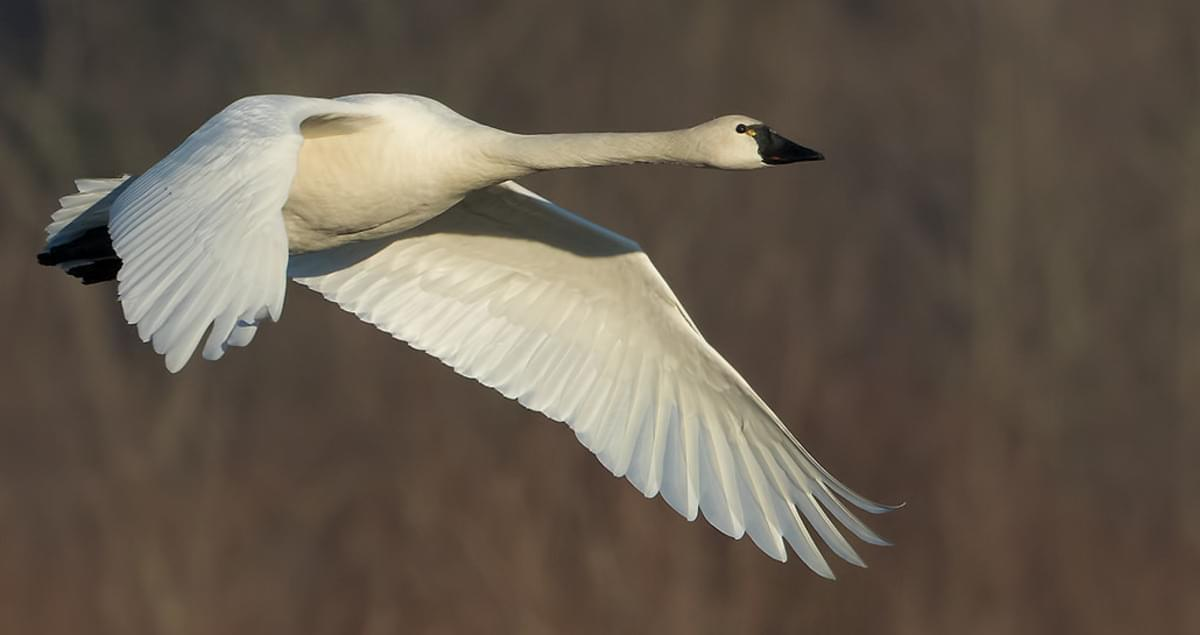 Tundra Swan Life History, All About Birds, Cornell Lab of ...