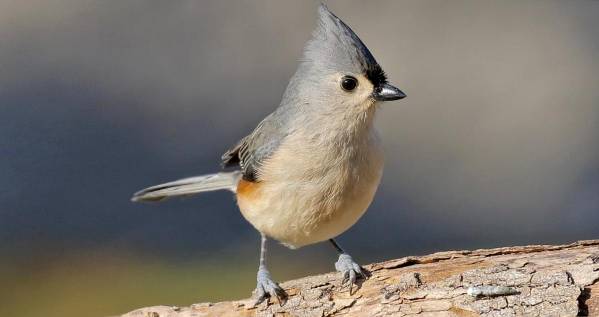 Tufted titmouse identification all about birds cornell lab of tufted titmouse identification all about birds cornell lab of ornithology sciox Images
