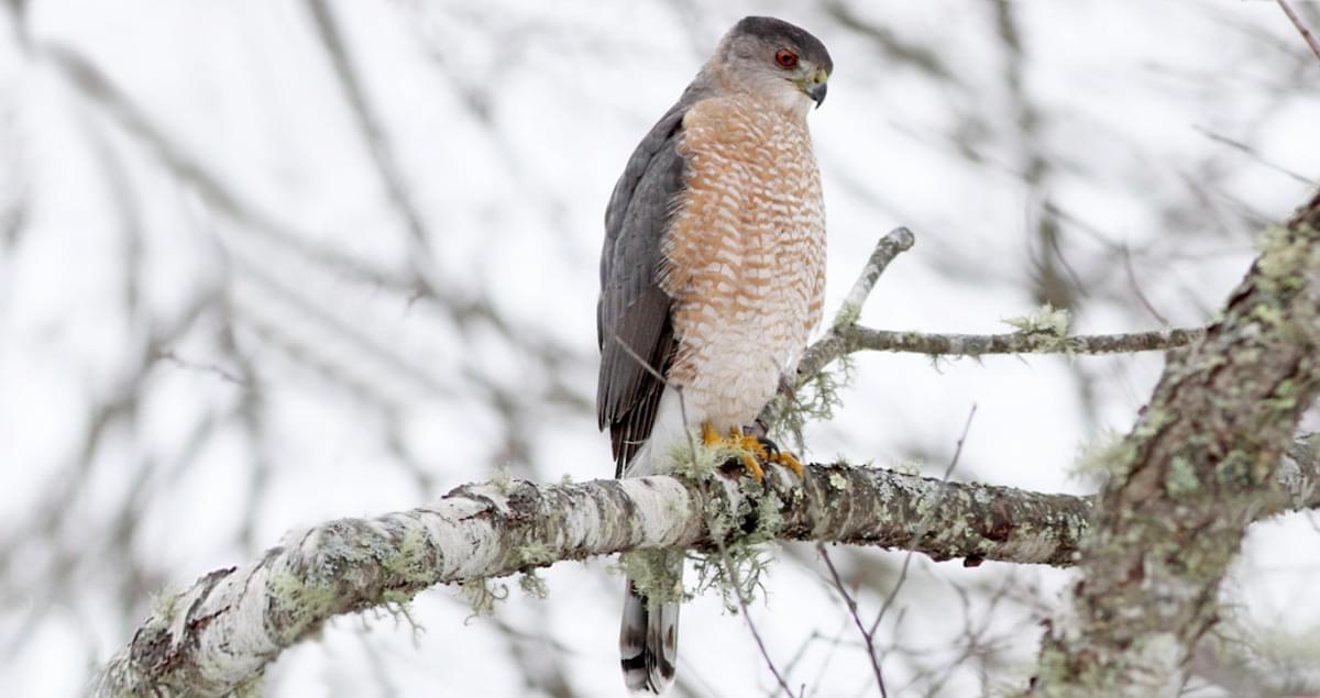 Cooper S Hawk Identification All About Birds Cornell Lab