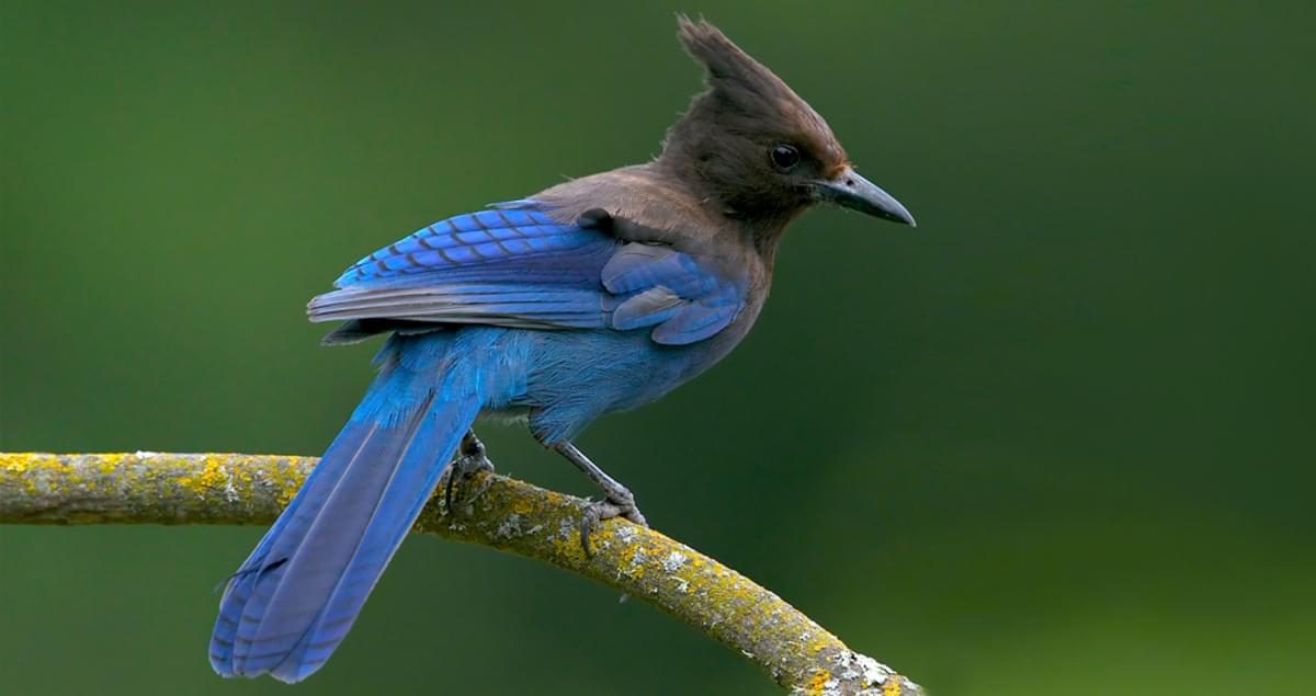 Stellers Jay Life History All About Birds Cornell Lab Of Ornithology