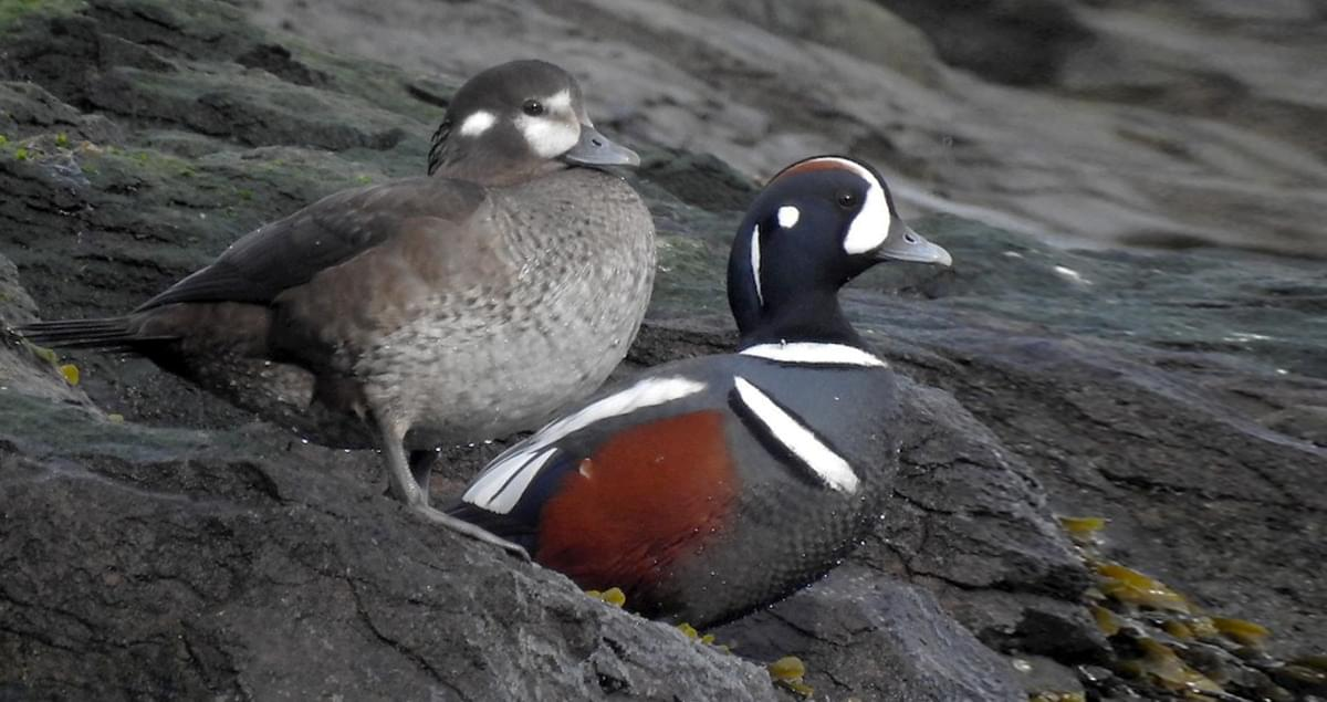 Harlequin Duck Life History, All About Birds, Cornell Lab ... - photo#19