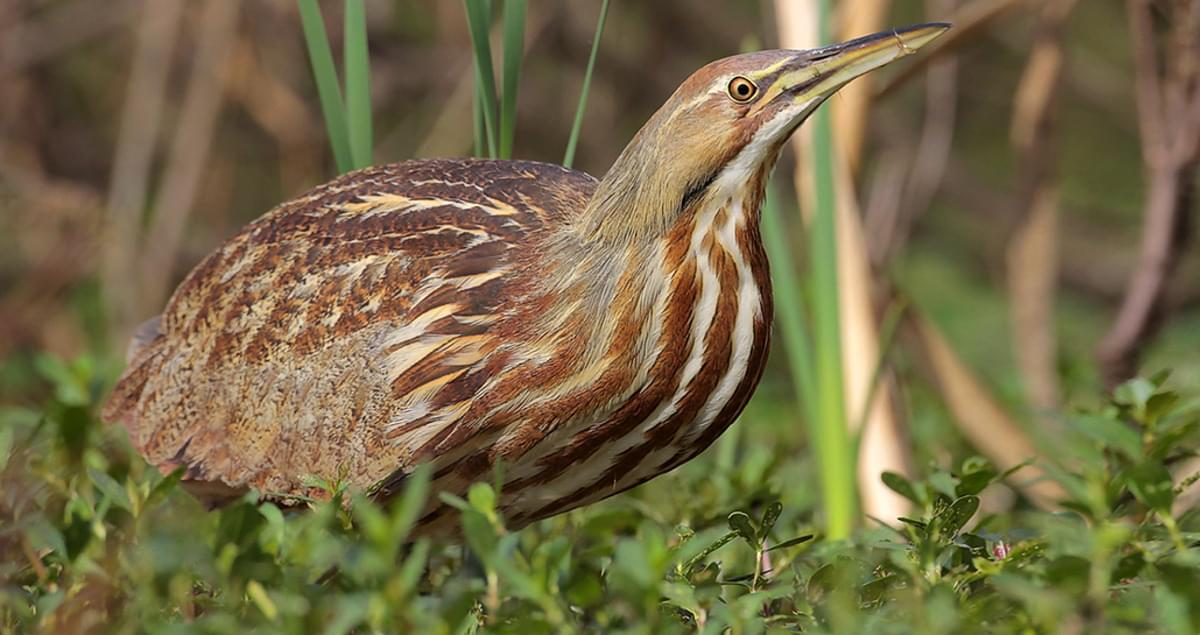 american bittern life history all about birds cornell