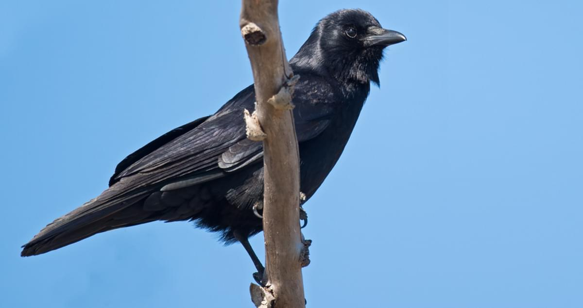 American Crow Life History All About Birds Cornell Lab Of - Bird Map Of The Us Crows