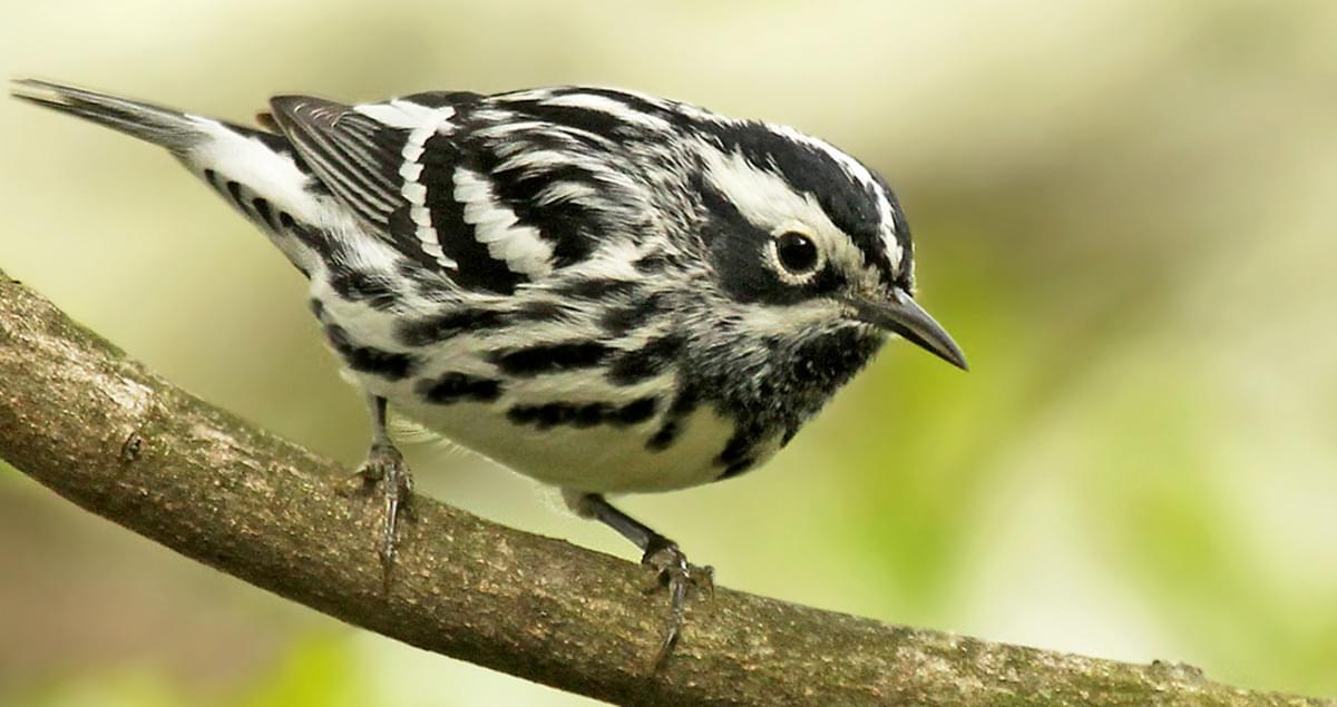 warbler birds cornell lab history
