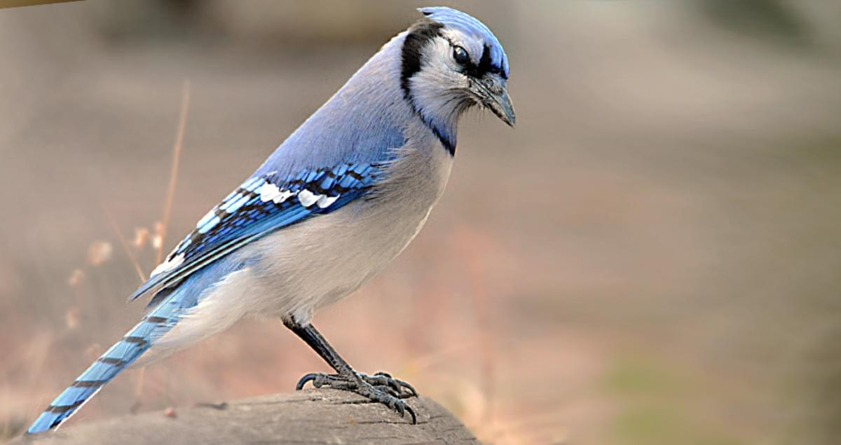 Blue Jays Birds