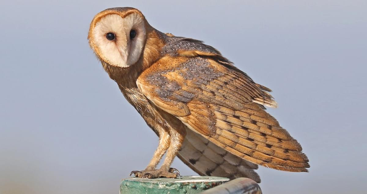 Barn Owl Life History All About Birds Cornell Lab Of