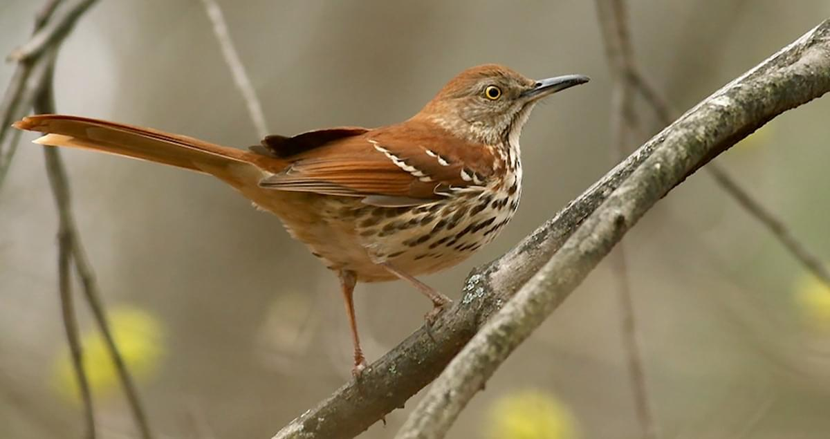 Brown Thrasher Identification, All About Birds, Cornell ...