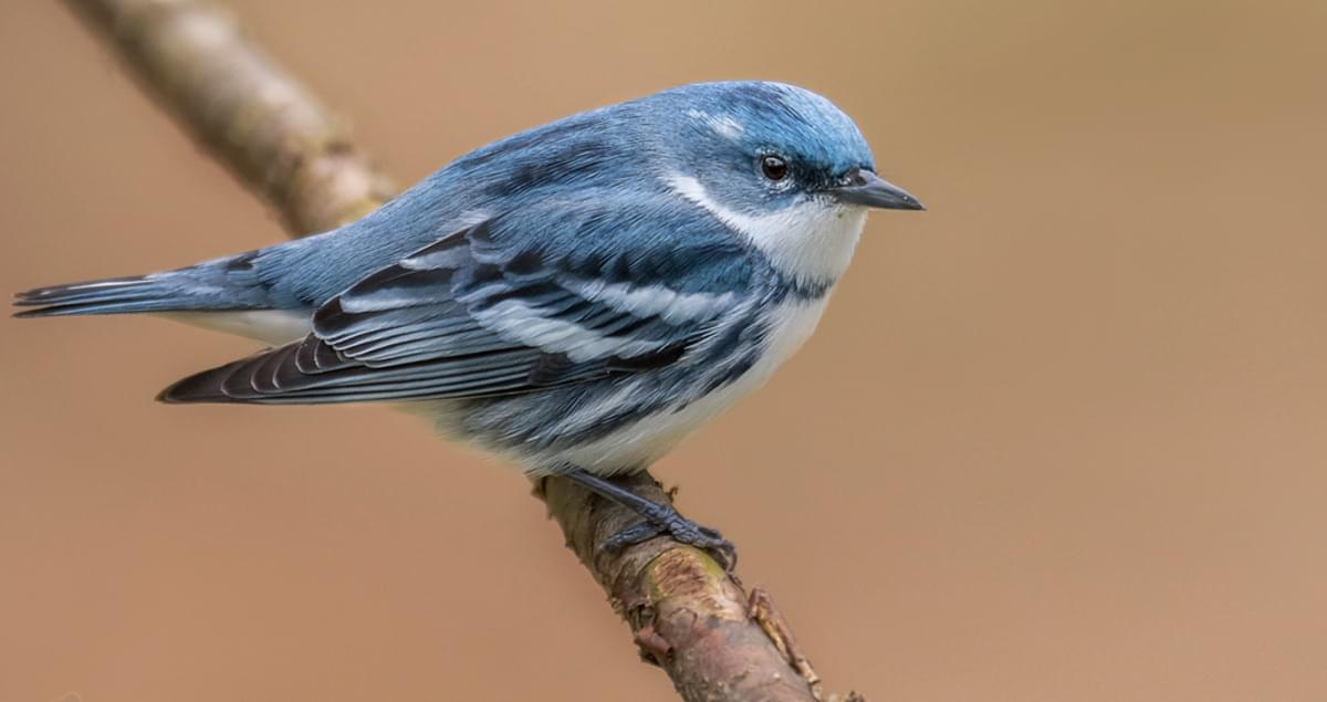 Cerulean Warbler Life History All About Birds Cornell Lab Of Ornithology