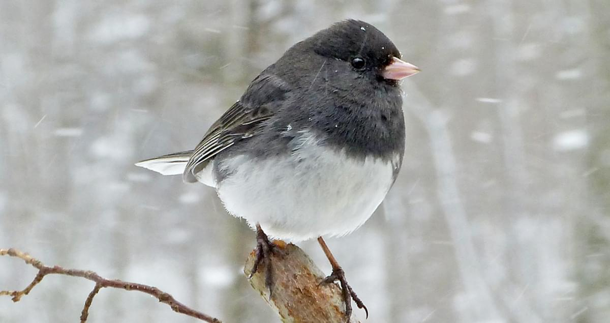 Dark-eyed Junco Life History, All About Birds, Cornell Lab ...