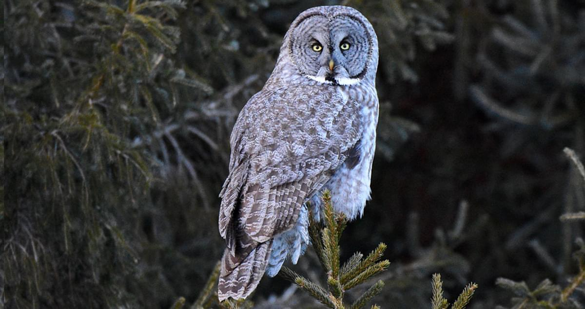 Great Gray Owl Identification, All About Birds, Cornell ...