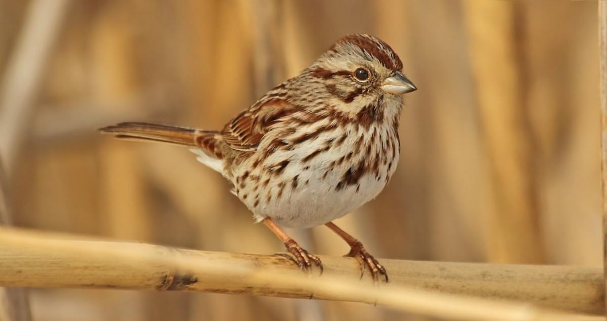 Lyric birds courting song lyrics : Song Sparrow Life History, All About Birds, Cornell Lab of Ornithology