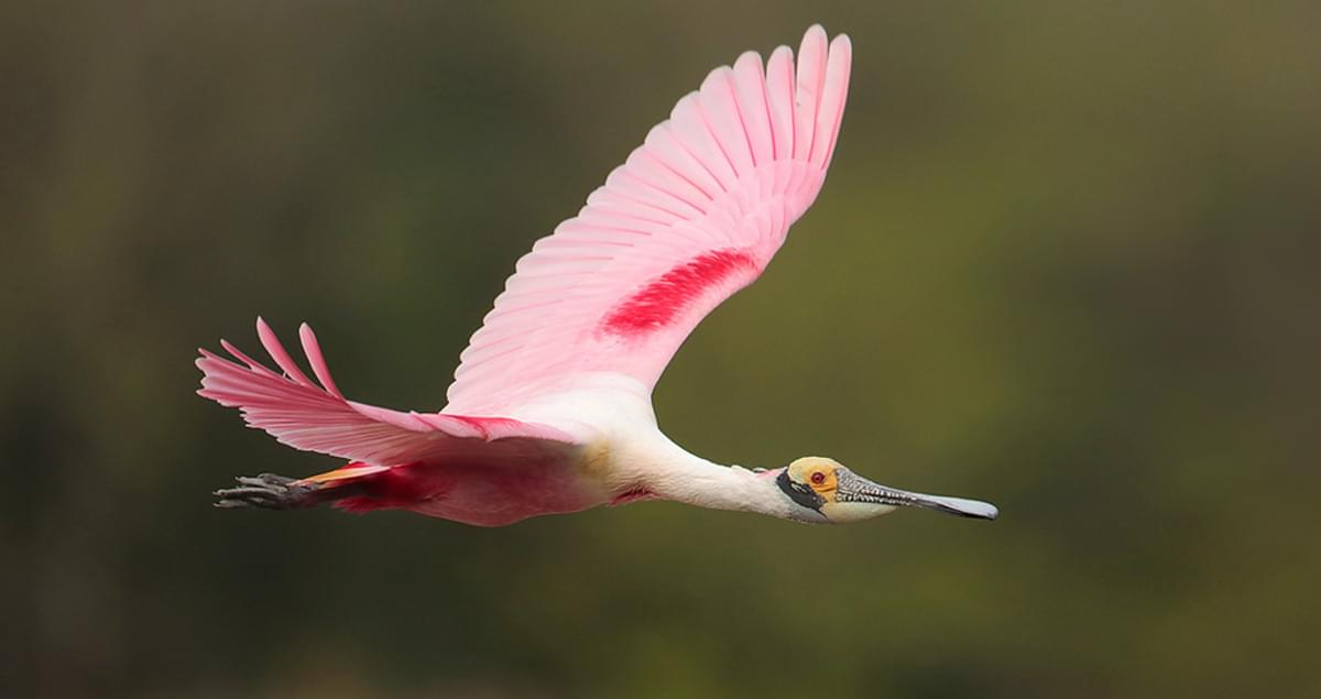 Roseate Spoonbill Life History All About Birds Cornell