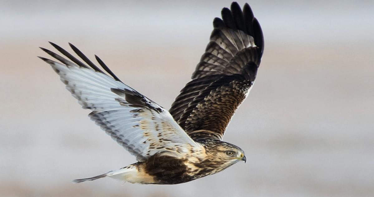 Rough Legged Hawk Overview All About Birds Cornell Lab Of Ornithology