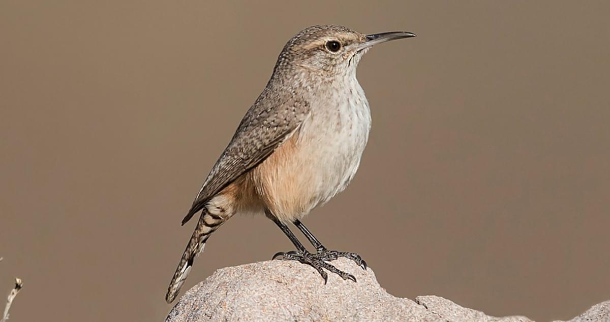 Rock Wren Identification All About Birds Cornell Lab Of
