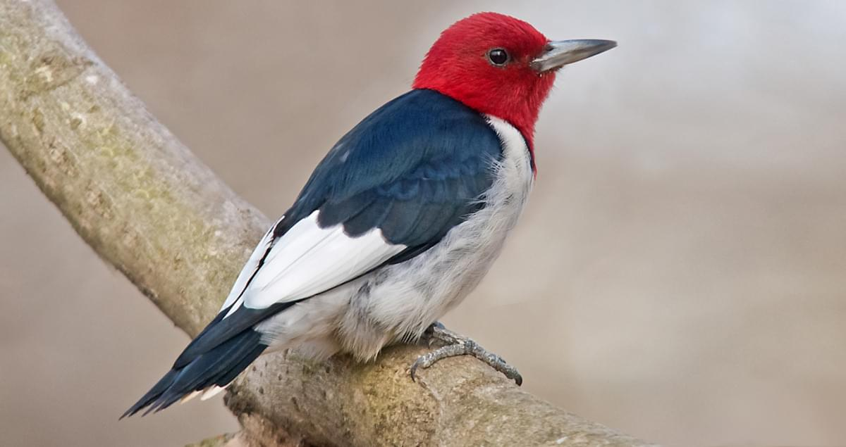 Red Headed Woodpecker Identification All About Birds