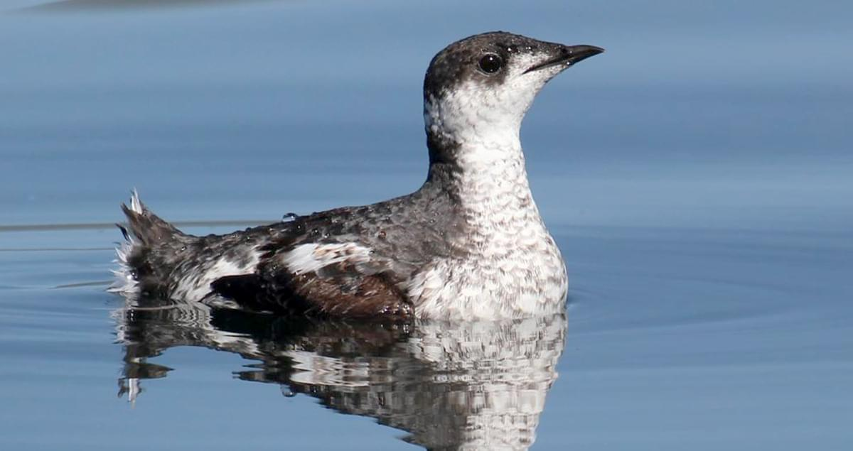 Marbled Murrelet Life History All About Birds Cornell