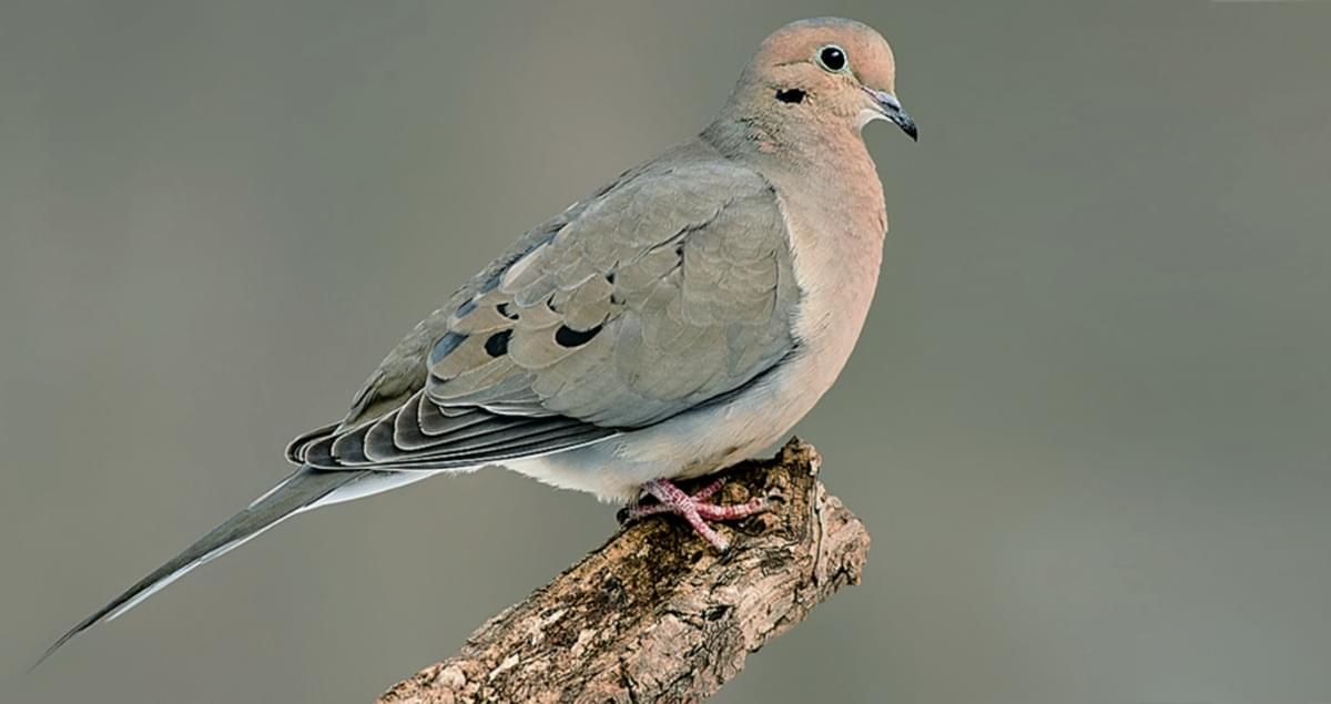 Mourning Dove Life History, All About Birds, Cornell Lab ...