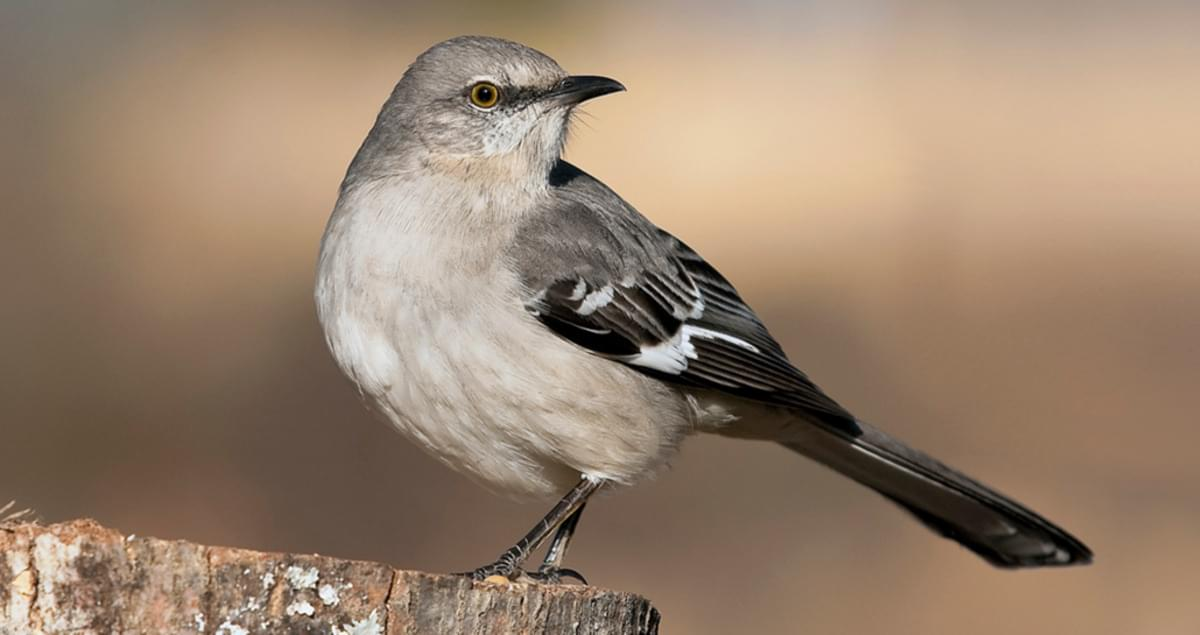 Northern Mockingbird Life History All About Birds Cornell Lab Of Ornithology