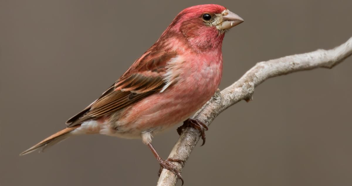 Purple Finch Life History, All About Birds, Cornell Lab of ...