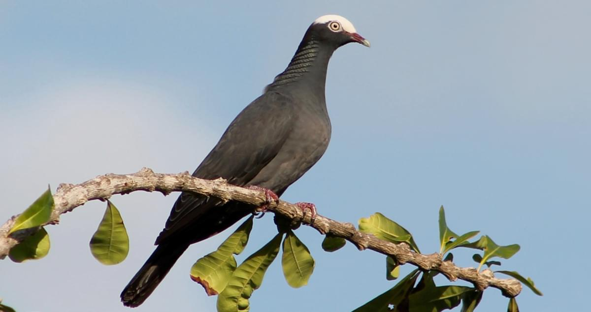 White crowned pigeon - photo#49