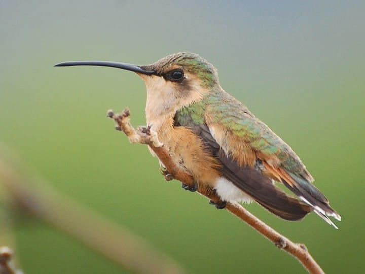 Calothorax lucifer - Lucifer Hummingbird -- Discover Life