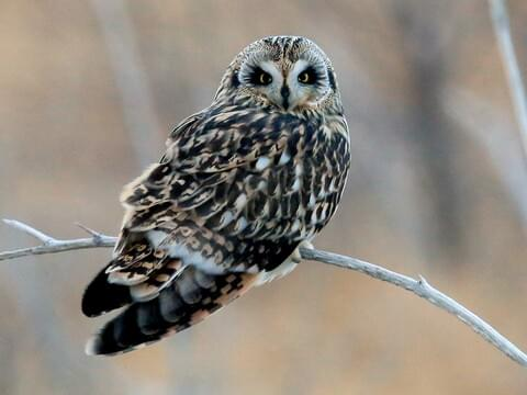 short eared owl adult is similar to barn owl - Picture Of An Owl