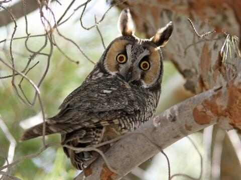 long eared owl adult is similar to barn owl - Owl Picture