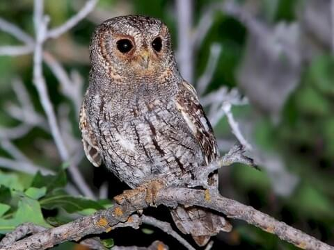 flammulated owl - Picture Of Owl