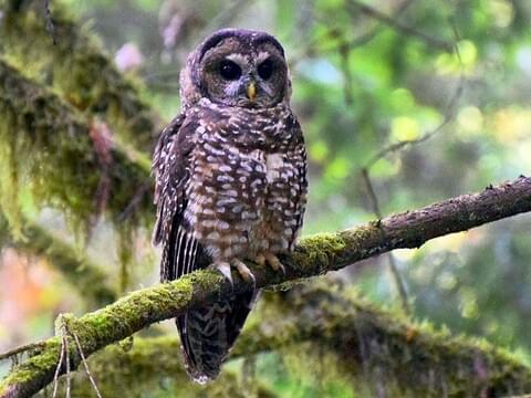 spotted owl adult california is similar to barred owl - Picture Of Owl