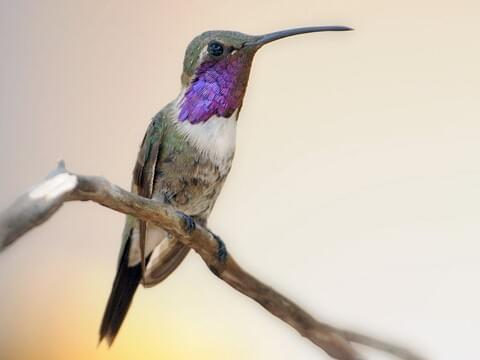 Lucifer Hummingbirds with Multiple Flashes | Larry Ditto Nature ...