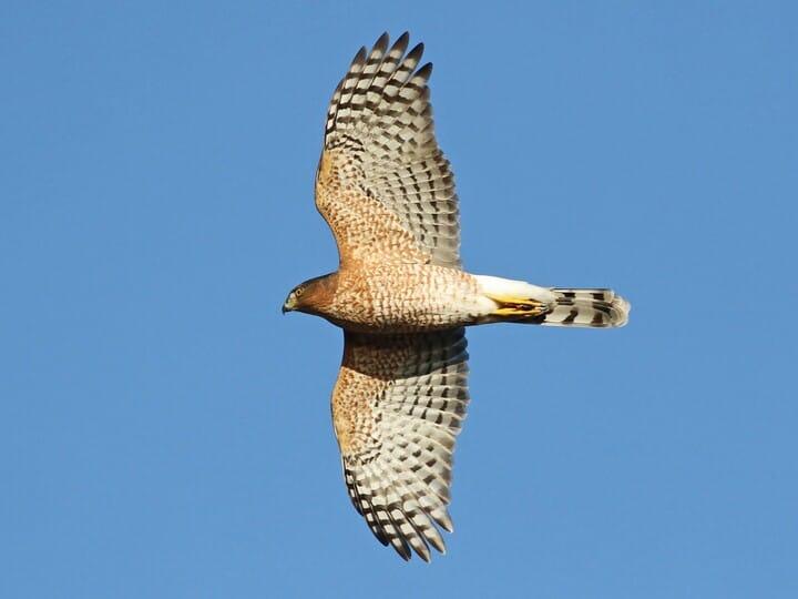 Cooper's Hawk Adult