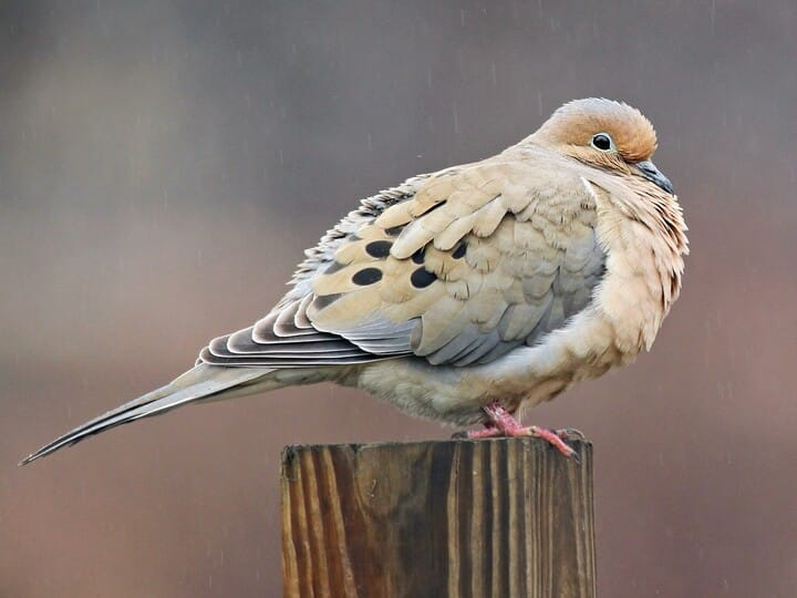 Mourning dove identification all about birds cornell lab of mourning dove voltagebd Gallery