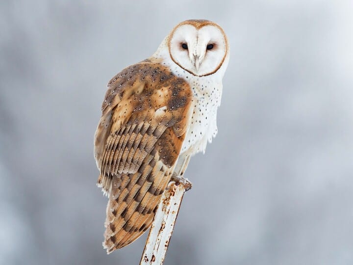 barn owl - Picture Of Owl