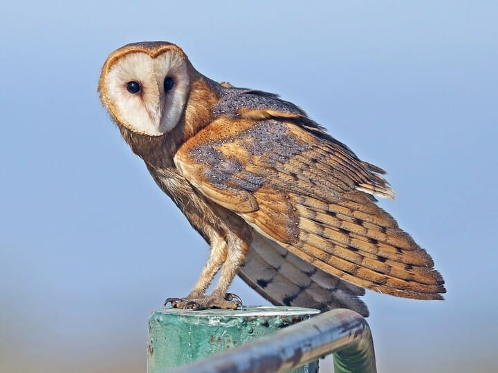 barn owl - Owl Picture