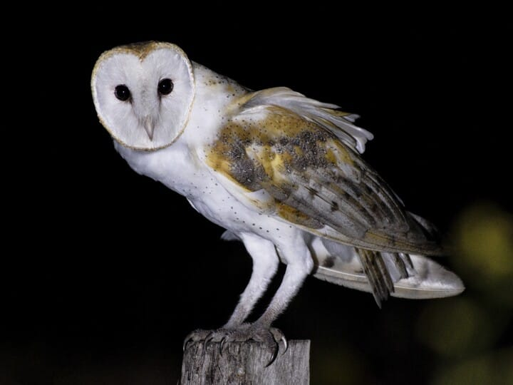 adult - Owl Picture