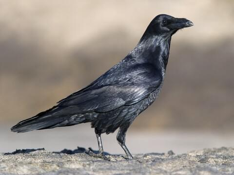 Common Raven Overview All About Birds Cornell Lab Of Ornithology - Bird Map Of The Us Crows
