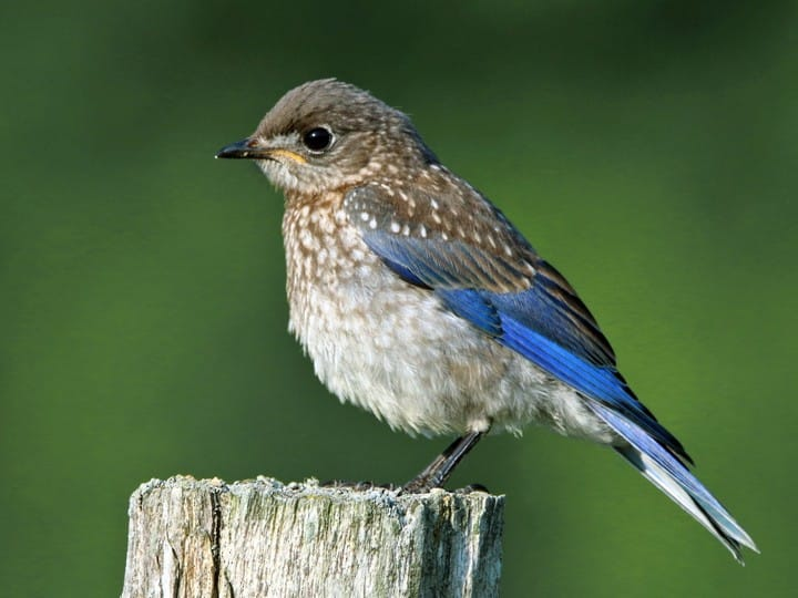 eastern bluebird identification, all about birds, cornell lab of