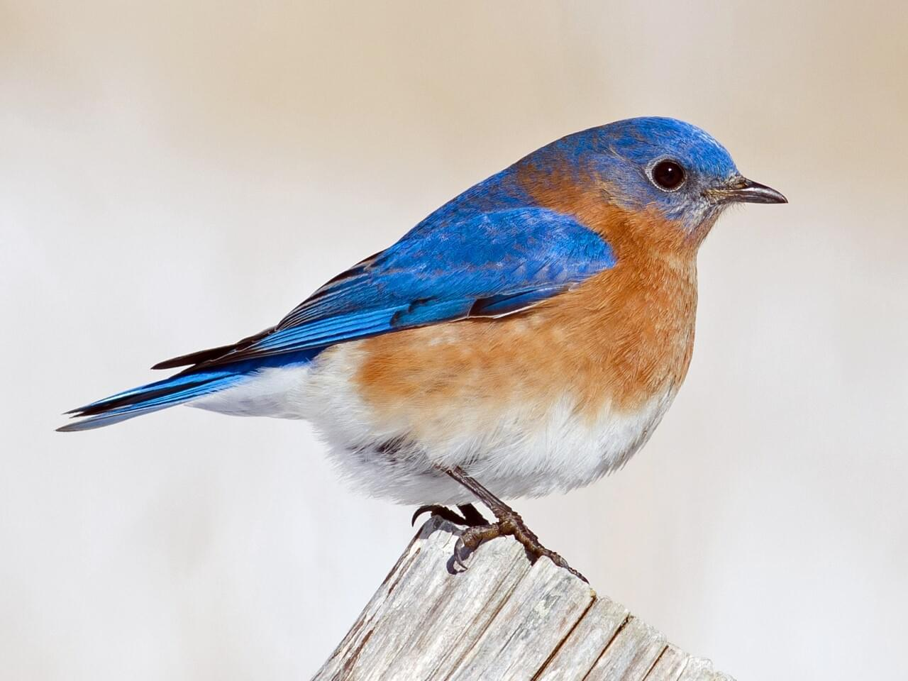 Eastern bluebird identification all about birds cornell lab of eastern bluebird buycottarizona Images