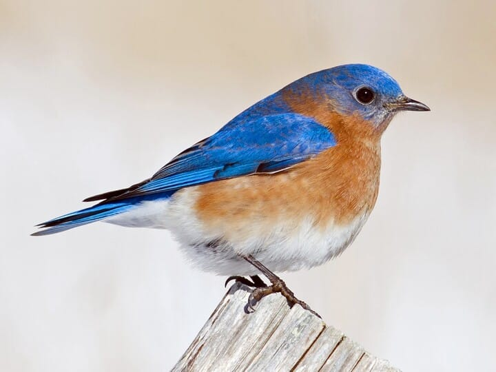 Eastern Bluebird Adult male