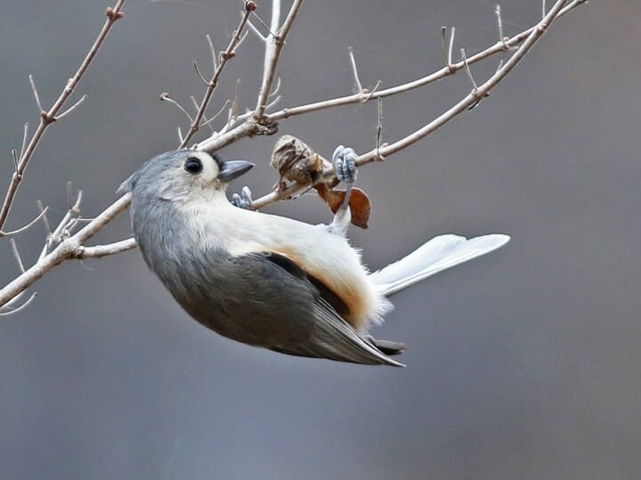 Tufted titmouse identification all about birds cornell lab of adult sciox Images