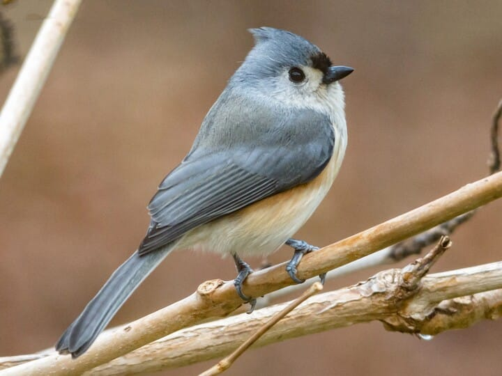 Tufted titmouse identification all about birds cornell lab of tufted titmouse sciox Images