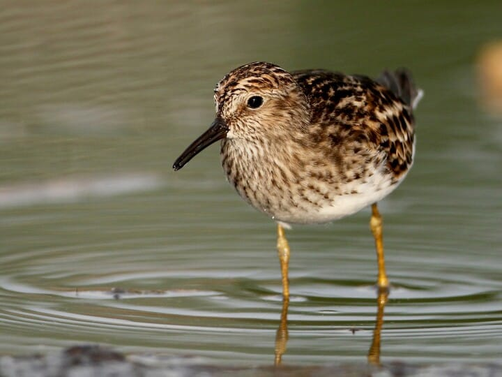 Le Ast least sandpiper identification all about birds cornell lab of
