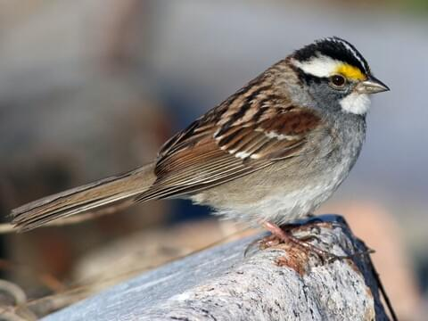 White-throated Sparrow Adult