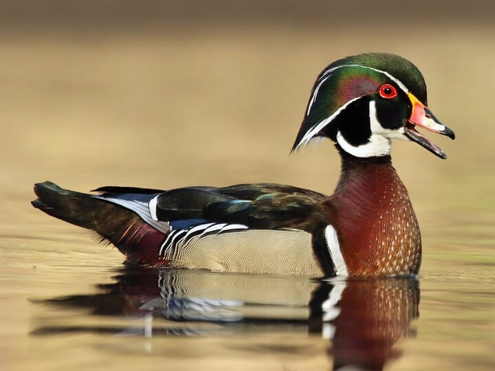 wood duck - Pictures Of Ducks