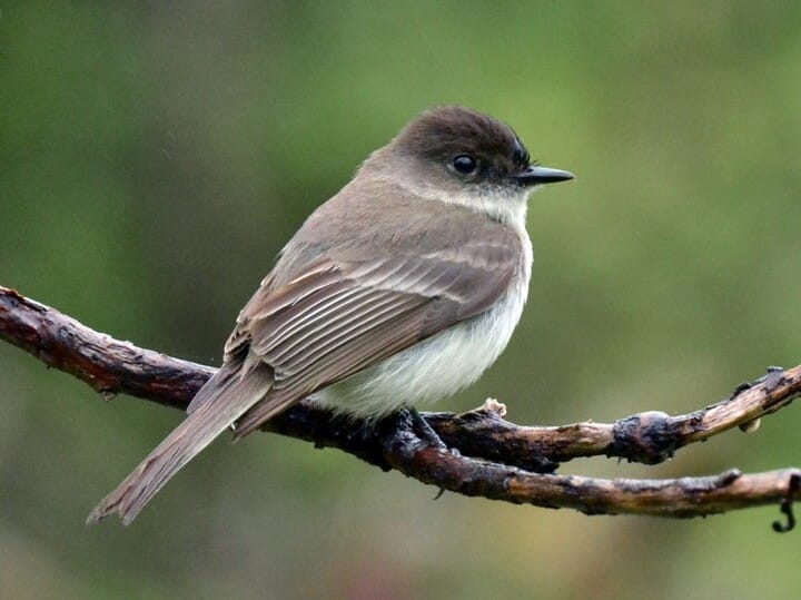 Eastern phoebe identification all about birds cornell lab of eastern phoebe sciox Images