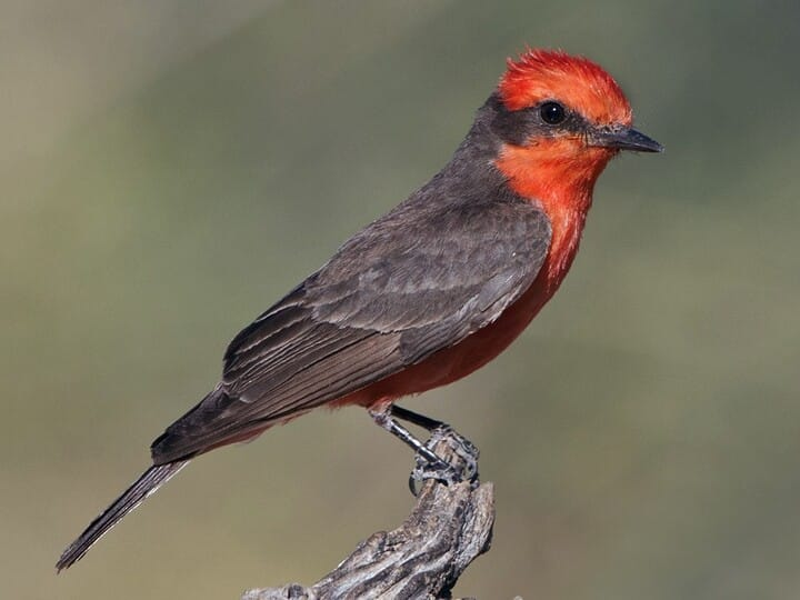 Vermilion Flycatcher Adult male