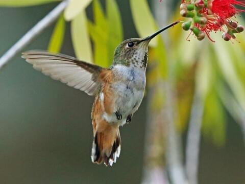 Lilibirds