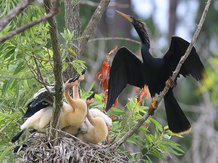 Male Anhinga in breeding colors | Scalder Photography