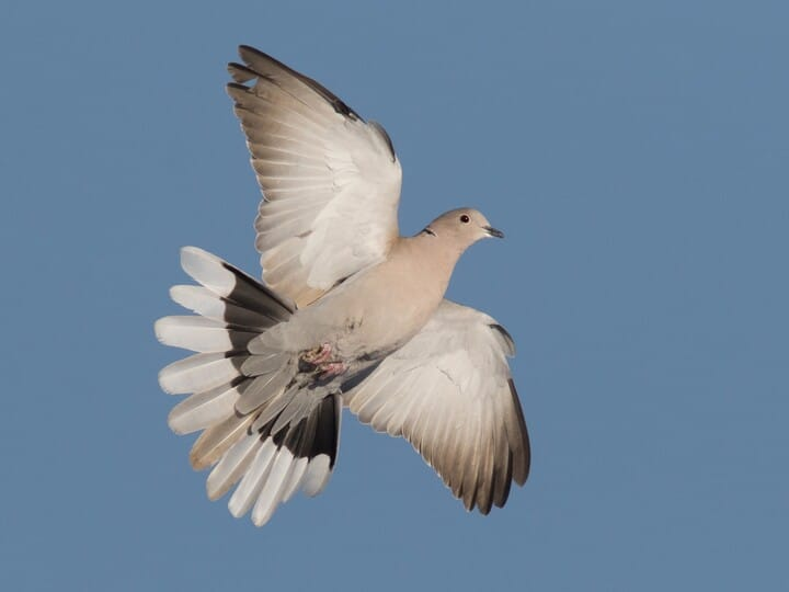 Image result for Eurasian Dove