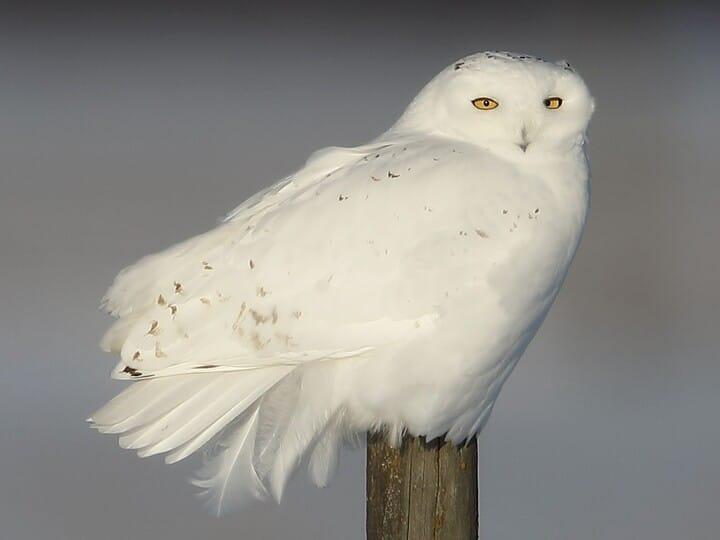 Snowy Owl Adult male